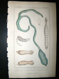 Cuvier C1835 Antique Hand Col Print. Sealife #6